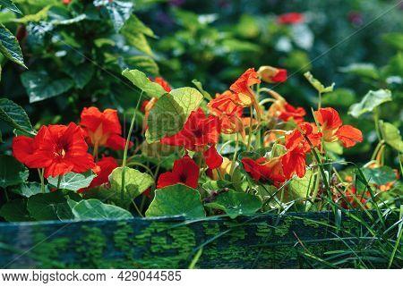 Tropaeolum Majus - Nasturtium Flowers On Gardenbed, Flowering Plant