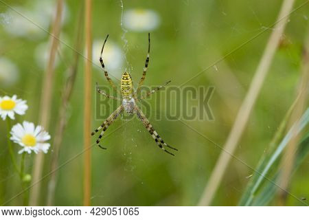 Large Wasp Spider Sits On A Web On A Green Background. Argiope Bruennichi, Or Lat Spider Wasp. Argio