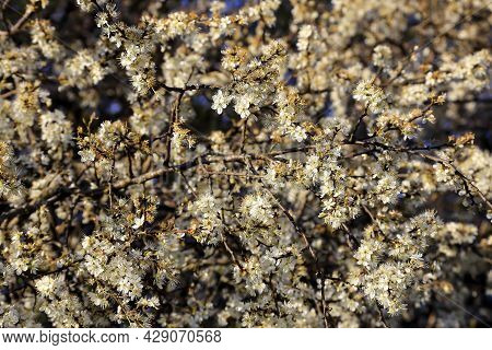 Thousands Of White Flowers Of Blackthorn (prunus Spinosa) In Spring At A Blackthorn Bush, Bavaria, G