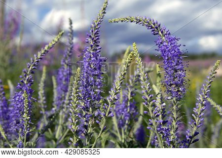 Long Stork Lupine Flowers Purple And Blue With Small Flowers. Set In A Meadow Of Blossoms.
