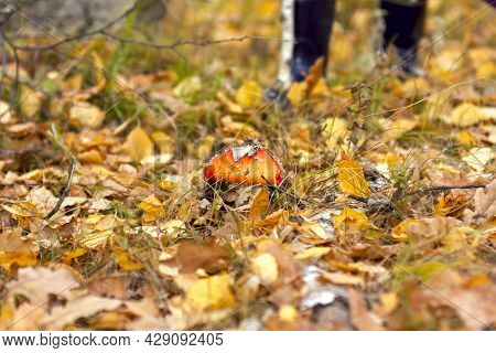red fly agaric with white specks grows in the forest in autumn through yellow leaves close-up