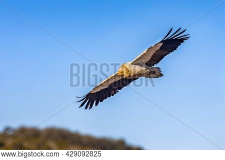 Egyptian Vulture (neophron Percnopterus) Flying Against Blue Sky In Spanish Pyrenees, Catalonia, Spa