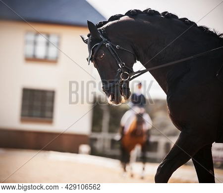 Portrait Of A Black Beautiful Horse With A Braided Mane, Which Performs At Dressage Competitions On