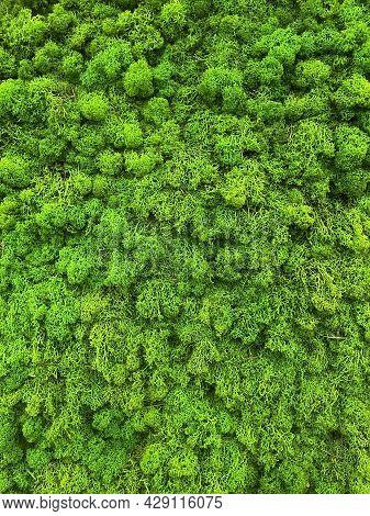 Moss Texture Background. Green Moss Texture Wall