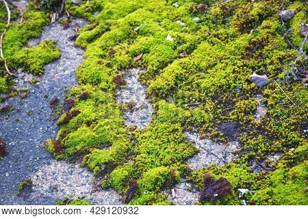 Bright Green Young Moss On The Ground