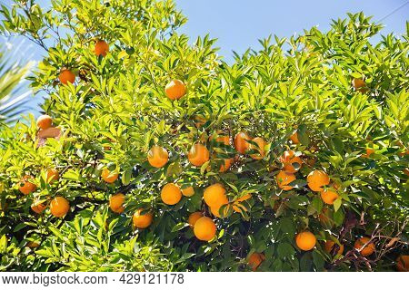 Orange Fruits On A Tree With A Blue Sky In The Background.