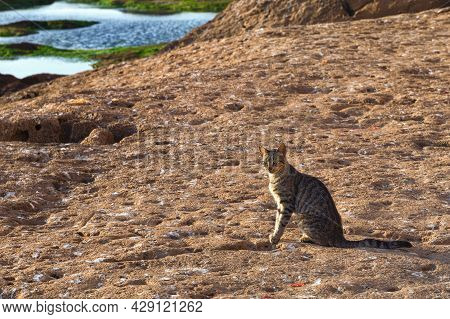 Adorable Homeless Cat On The Volcanic Shore Of The Atlantic Ocean In The Area Of Essaouira In Morocc