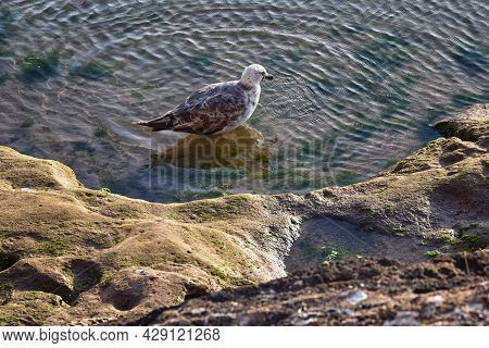 Young Yellow-legged Gull Take A Bath On The Volcanic Shore Of The Atlantic Ocean In The Area Of Essa