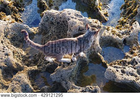 Homeless Cat Walking On The Volcanic Shore Of The Atlantic Ocean In The Area Of Essaouira In Morocco