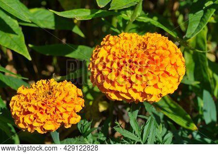 Orange Marigolds Erect