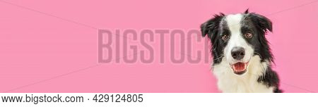 Funny Studio Portrait Of Cute Smiling Puppy Dog Border Collie Isolated On Pink Background. New Lovel
