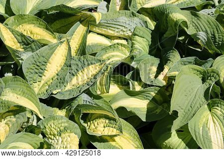Variegated Plantain Lily, Hosta Variety Wahoo, Leaves With Yellow Centres And Green Margins With No