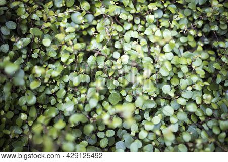 Callisia Repens, Also Known As Creeping Inchplant, Bolivian Jew Or Turtle Vine, Is A Succulent Creep