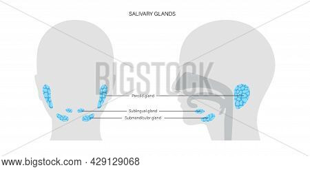 Salivary Gland In Human Mouth. Parotid, Submandibular, And Sublingual Glands. Produce Of Saliva Thro