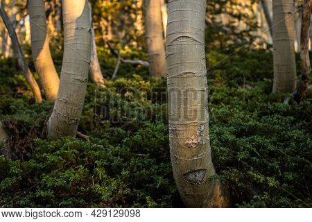 Aspen Tree Trunk Bends Up And Out Of Forest Floor Plants Growth With Morning Light Shining On It