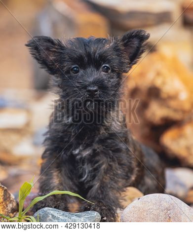 Cairn Terrier Puppy Posing On A Rock