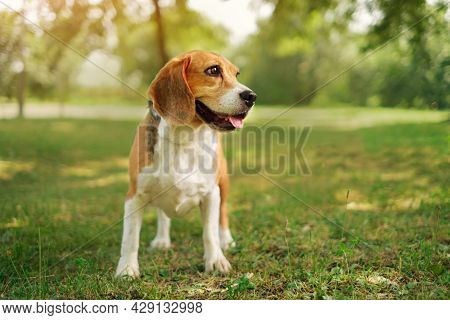 Portrait Of A Thoroughbred Hunting Dog Beagle In The Park Against The Sunset. A Thoughtful Dog On A