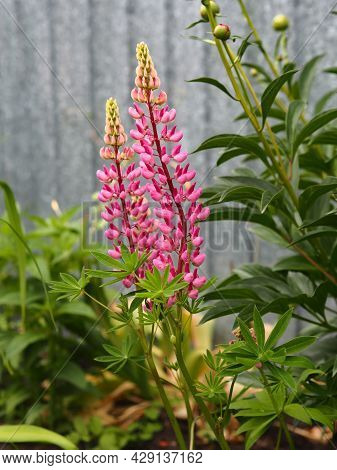 Lupin Flower Or In Everyday Life Called Wolf Bean Grows In The Garden.spring Flower Garden.