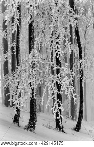 Winter Forest With Beech Tree Trunks And Branches