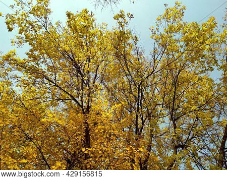 Yellow Leaves Against The Blue Sky. Autumn. Trees With Lags Of Yellow Leaves On Branches. Clear Blue