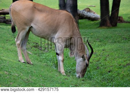 Beautiful  Common Eland Of Africa  In A Canadian Zoological Park