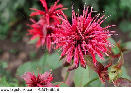 Red Dahlia Flower. Beautiful Red Dahlia On Natural Grey Background. Red Dahlia - Genus Of Flowering
