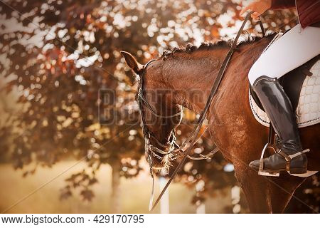 A Beautiful Bay Horse With A Braided Mane And A Rider In The Saddle, Walks Through The Park Among Th