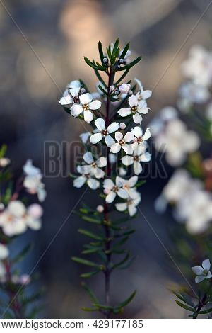 Delicate White Flowers Of The Australian Native Zieria Laevigata, Family Rutaceae Growing In Sydney