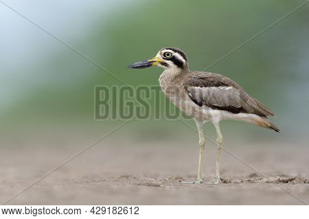 Ugly Brown Wader Bird With Big Eyes And Large Beaks Standing Still Over Dirt Field On Swampen Land,
