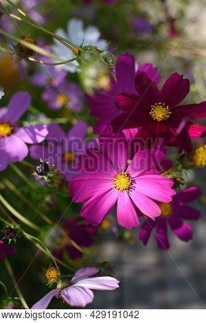 Cosmea Flowers On Flower Bed