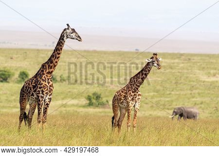 A pair of Masai giraffes, Giraffa camelopardalis tippelskirchii, the lush grass of the Masai Mara, Kenya. This is a male and female pair and an elephant can be seen in the background.
