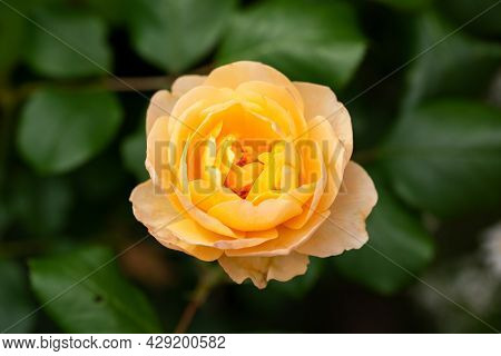 English Rosa Roald Dahl David Austin Shrub Rose Bush In Summer Cottage Garden