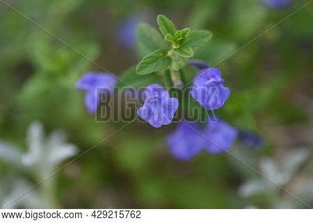 Scuterllaria Strigillosa Flowers. Lamiaceae Perennial Beach Plants.