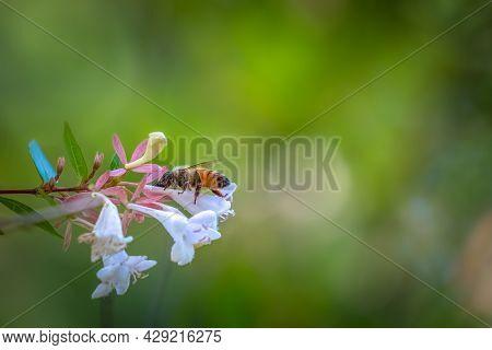 A Western Honeybee (apis Mellifera) Hard At Work, Pollinating Blooms. Raleigh, North Carolina. Room