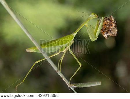 Predator Mantis  Feed His Insect As Natural  Prey.\nyellow Colibri Bird Feeding Her Chick Sitting At