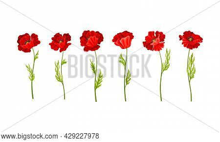 Red Poppy As Herbaceous Flowering Plant On Stem Vector Set