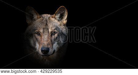 Close Up Wolf Portrait On Black Background