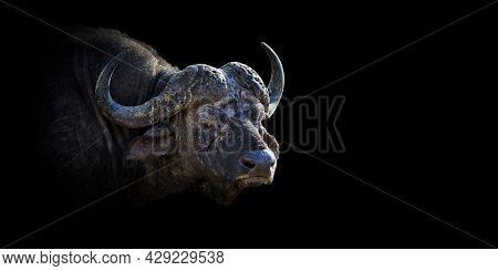 Close Up Buffalo Portrait On Black Background