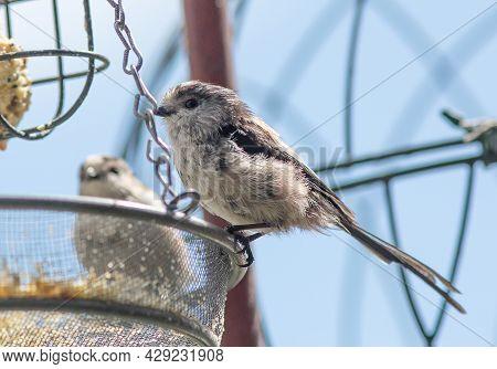 Long Tailed Tits (aegithalos Caudatus) On Bird Feeder