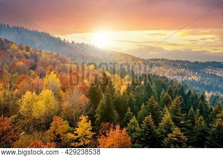 View From Above Of Dense Pine Forest With Canopies Of Green Spruce Trees And Colorful Yellow Lush Ca