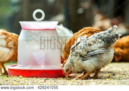 Hen Feed On Traditional Rural Barnyard. Close Up Of Chicken Standing On Barn Yard With Bird Feeder.