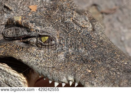 Close Up Head Of Crocodile Was Sunbathing Isolated On Background