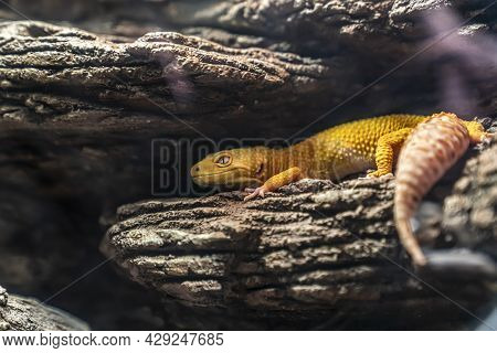 The Common Leopard Gecko , Eublepharis Macularius, Is A Ground-dwelling Lizard Native To The Rocky D