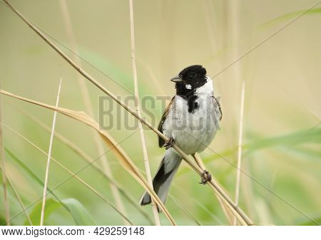 Common Reed Bunting Perched On A Reed In Rainham Marshes Nature Reserve, Uk.