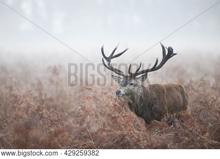 Red Deer During Rutting Season On A Misty Autumn Morning, Uk.
