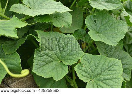 Green Fruitless Cucumber Plant Closeup. Young Cucumber Plant Withouts Fruits With Leaves. Cucumber P