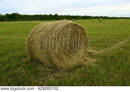 Harvesting Straw Roll For Farm Animal Feed. Round Roll Of Hay Are Placed On The Farmer Field. A Roun