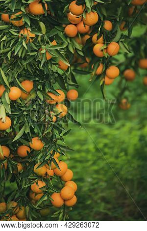Tangerine Sunny Garden With Green Leaves And Ripe Fruits. Mandarin Orchard With Ripening Citrus Frui