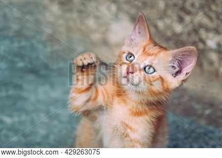 Portrait Of A Red Kitten In The Garden. Tabby Funny Red Kitten With Green Eyes And With Big Ears. An