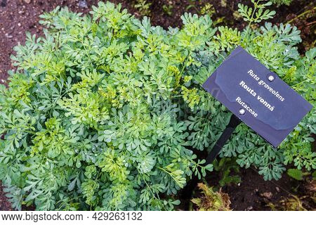 Common Rue Or Herb Of Grace (ruta Graveolens) Herbal Plant In The Garden. Medicinal Herb.